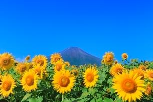 花の都公園のヒマワリと富士山の写真素材 [FYI02091880]