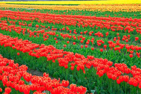 チューリップの花畑の写真素材 [FYI02092060]