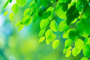 新緑のカツラの写真素材 [FYI02092116]