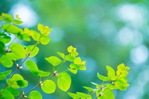 新緑のカツラの写真素材 [FYI02092117]