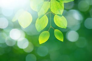 カツラの葉と新緑の写真素材 [FYI02092141]