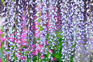 地福寺・フジの花の写真素材 [FYI02092143]