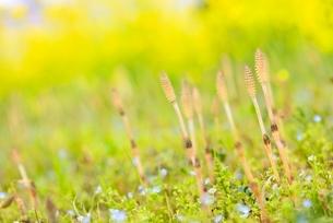 ナノハナ畑のツクシとオオイヌノフグリの写真素材 [FYI02092156]