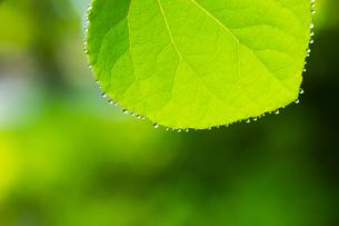 カツラの新緑アップの写真素材 [FYI02092201]