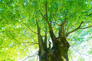新緑の大きな木の写真素材 [FYI02092227]