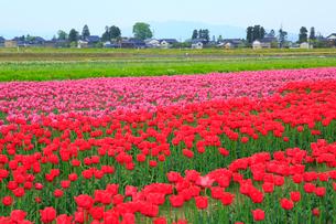 砺波平野 チューリップ花畑と散居村の写真素材 [FYI02092231]