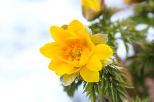 福寿草の花の写真素材 [FYI02092245]