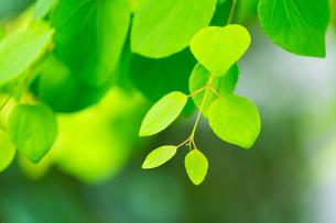カツラの新緑アップとぼけた森の写真素材 [FYI02092248]
