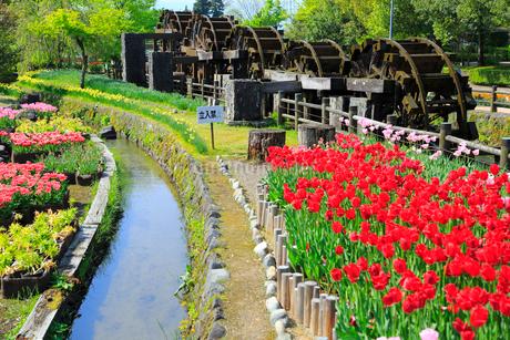 砺波チューリップ公園 五連水車とチューリップ花畑の写真素材 [FYI02092257]