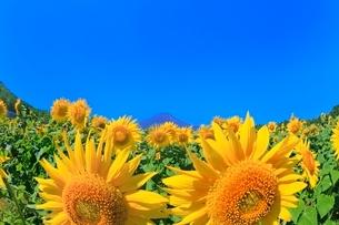 花の都公園のヒマワリと富士山の写真素材 [FYI02092278]