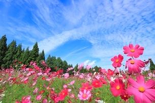 当間(あてま)高原 コスモスの花畑とうろこ雲の写真素材 [FYI02092370]
