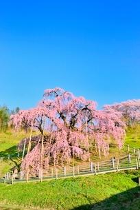 三春の滝桜の写真素材 [FYI02092396]