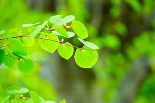 新緑のカツラの写真素材 [FYI02092459]