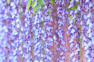地福寺・フジの花の写真素材 [FYI02092485]