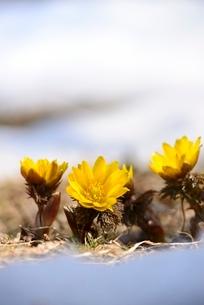 フクジュソウの花と雪の写真素材 [FYI02092539]