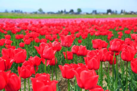 砺波平野 チューリップ花畑と散居村の写真素材 [FYI02092557]