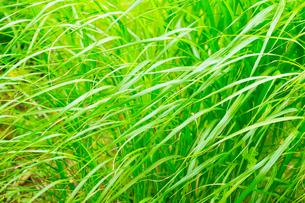 笹の新緑の写真素材 [FYI02092571]