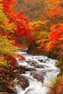 柳沢川の紅葉の写真素材 [FYI02092685]