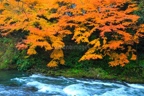 山中温泉 紅葉の鶴仙峡の写真素材 [FYI02092691]