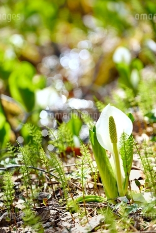 湿原とミズバショウ群生の写真素材 [FYI02092704]