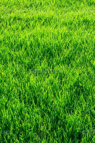 緑の芝生の写真素材 [FYI02092717]