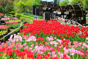 砺波チューリップ公園 五連水車とチューリップ花畑の写真素材 [FYI02092747]