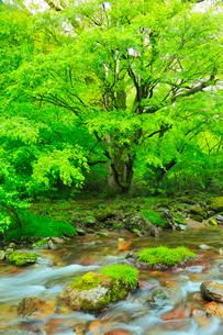 小田深山渓谷の新緑と清流の写真素材 [FYI02092754]