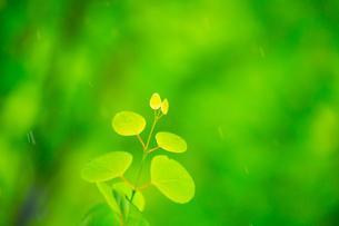 カツラの新緑アップとぼけた森の写真素材 [FYI02092801]