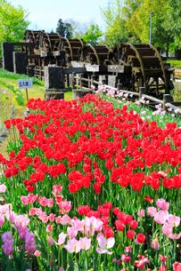砺波チューリップ公園 五連水車とチューリップ花畑の写真素材 [FYI02092884]
