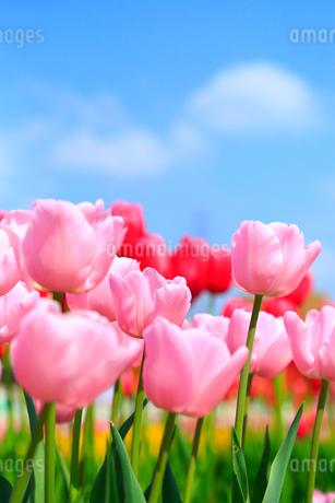 砺波チューリップ公園 チューリップの花の写真素材 [FYI02092928]