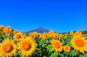 花の都公園のヒマワリと富士山の写真素材 [FYI02092941]