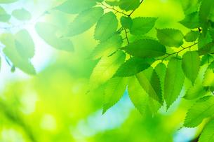 ケヤキの新緑アップの写真素材 [FYI02092944]