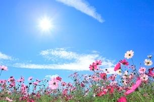 当間(あてま)高原 コスモスの花に太陽の写真素材 [FYI02092957]