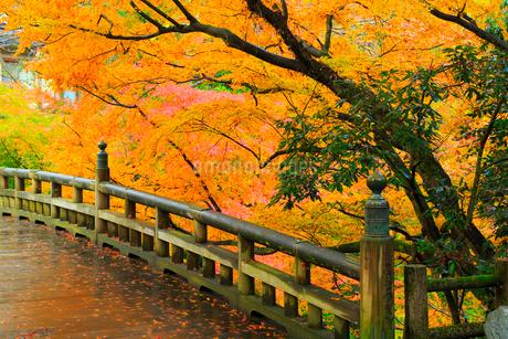 山中温泉 紅葉のこおろぎ橋の写真素材 [FYI02092995]