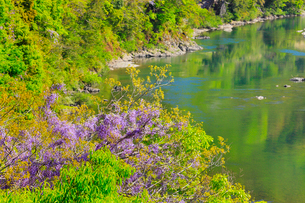 四万十川の清流とフジの花の写真素材 [FYI02093050]