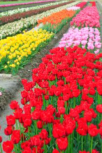 チューリップの花畑の写真素材 [FYI02093111]
