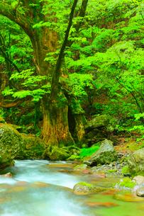 小田深山渓谷の新緑と清流の写真素材 [FYI02093143]
