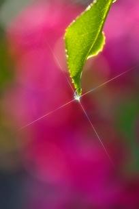 緑の葉と水滴 背景にバラの花の写真素材 [FYI02093155]