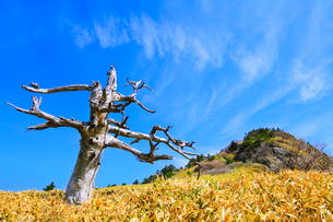 瓶ヶ森の白骨樹の写真素材 [FYI02093302]