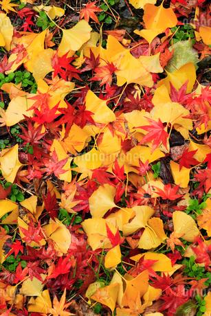カエデとイチョウの散り紅葉の写真素材 [FYI02093317]
