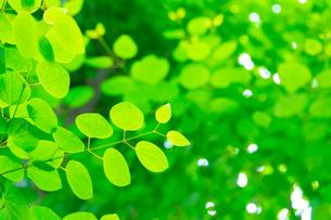 カツラの新緑アップの写真素材 [FYI02093324]