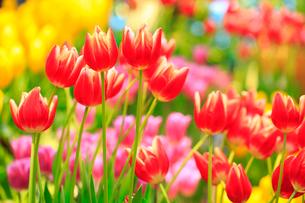 チューリップの花の写真素材 [FYI02093365]