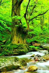 小田深山渓谷の新緑と清流に古樹の写真素材 [FYI02093402]