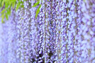 地福寺・フジの花の写真素材 [FYI02093438]