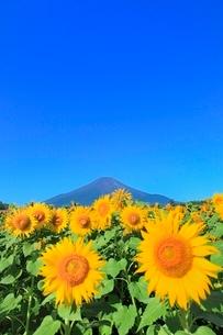 花の都公園のヒマワリと富士山の写真素材 [FYI02093467]