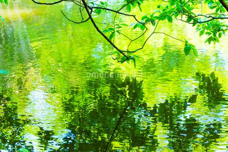 新緑が映る水面の写真素材 [FYI02093492]