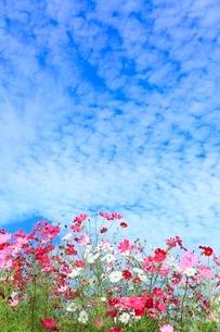 当間(あてま)高原 コスモスの花とうろこ雲の写真素材 [FYI02093550]