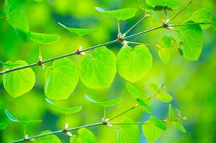 新緑のカツラの写真素材 [FYI02093577]