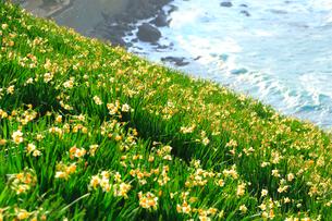 越前海岸とスイセンの花の写真素材 [FYI02093632]