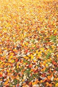 落ち葉の写真素材 [FYI02093688]